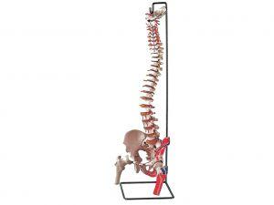 GI-40131 - MOD. COLONNA VERTEBRALE CON FEMORI + muscolatura
