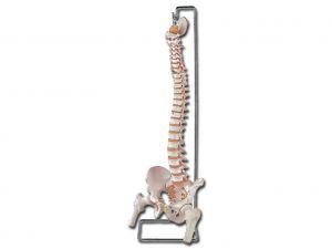 GI-40132 - MOD. COLONNA VERTEBRALE CON FEMORI + osso sacro